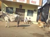 Inde - vache rue