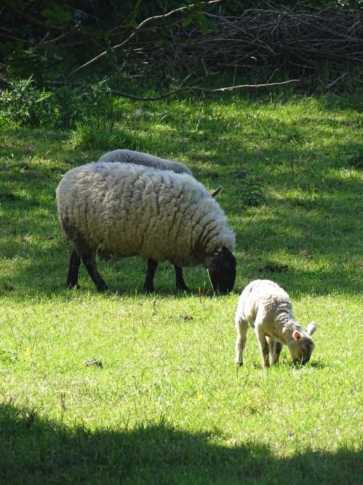 moutons_irlande